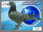 PT 5193019/15 � Ard�sia cinza Consangu�nea do �Romario� (Janssen-Arendonk)