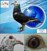 PT 8098927/18 Bisneta do «Super Branco» do Galrão (Pigeon Farm)